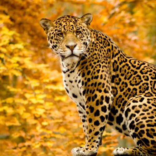 Jaguar Or Leopard?