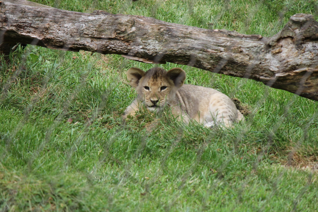lion cub under branch