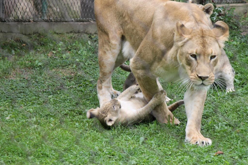 lion cub wrestles mom