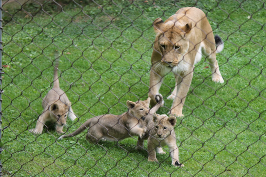 lion cubs running with mom