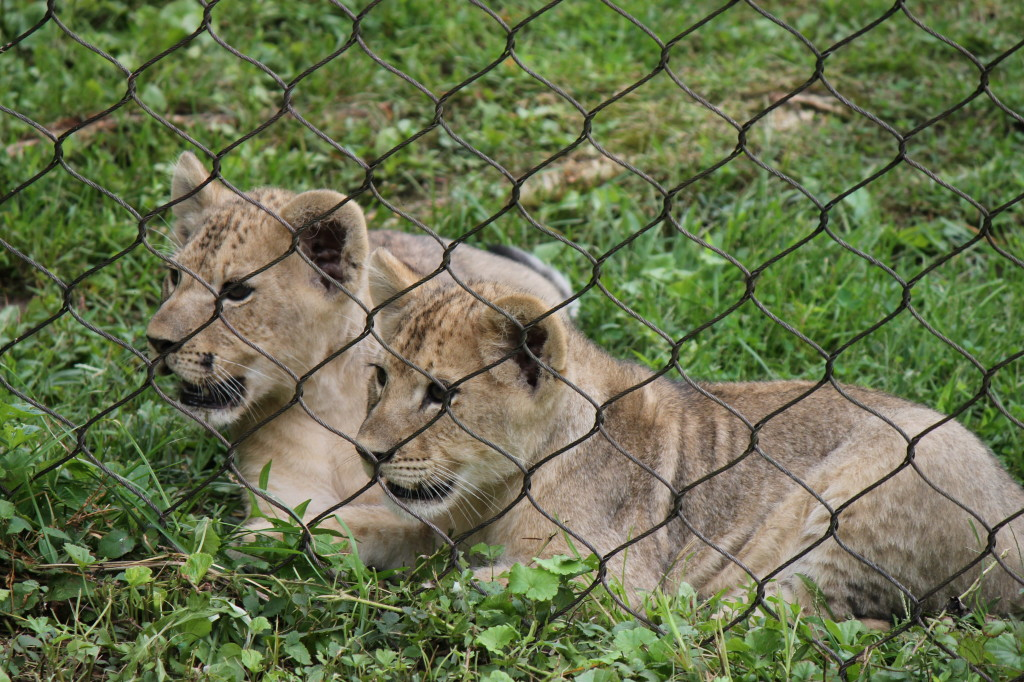 lion cubs by fence